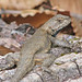 eastern fence lizard - two days ago
