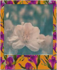 BLOSSOM (Paul Chow Photography) Tags: china flower polaroid sx70 hongkong blossom sar expiredfilm polaroidsx70 closeuplens filmisnotdead polaroidlove polaroidphotographer istillshootfilm impossibleproject filmneverdies kowloonwallcity color600 filmneverdied 31662hk slr670m mintlensset mintslr670m poisonedparadiseedition fuchsiaedition paulchowphotography