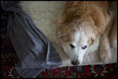 Tired (Eline Lyng) Tags: leica sleeping dog animal 50mm golden nick retriever sl noctilux 095 goldengoldenretriever noctilux095 leicanoctilux50mmf095asph littledoglaughedstories