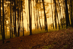 dreamy frontier (pat.netwalk) Tags: trees light nature yellow forest golden mood dreamy frontier myst ambiente copyrightpatrickfrank