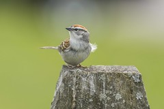 Chipping Sparrow (swmartz) Tags: nature outdoors newjersey nikon wildlife sparrow chipping