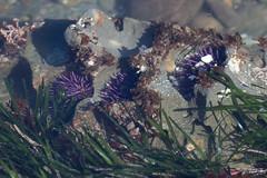 IMG_8011 (armadil) Tags: beach beaches lowtide urchin urchins tidepools tidepool seaurchin mavericks seaurchins californiabeaches