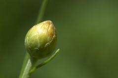 Bud of the mystery flower (debunix) Tags: bud whoami possiblepentachaetaaurea