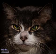 Low Key Owen 2016 (The Suss-Man (Mike)) Tags: portrait pet animal cat georgia eyes feline gainesville greeneyes mainecoon owen lowkey graycat hallcounty longhaircat thesussman sonyslta77 sussmanimaging