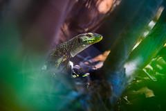 craintif ! (ludodesco) Tags: portugal nature nikon reptile d750 algarve lezard 2016 lezardvert flickrunited