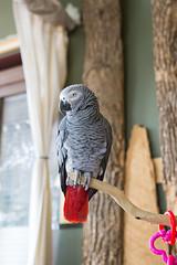 African Grey Parrot (saebaryo) Tags: bird birds canon parrot africangreyparrot avian 2470mm canon2470mmf28l birdkingdom canoneos5dmarkiii 5d3 5diii
