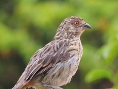Rara (Phytotoma rara) Hembra (Natacha Francisca G.) Tags: chile birds aves birdwatching rara chilean cotingidae passeriforme phytotoma