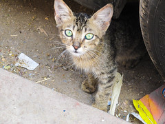 gato mulumano (mariamartins155) Tags: animal cat gato rua marrocos abandonado
