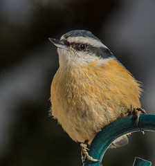 Red-breasted Nuthatch (Sitta canadensis) (NigelJE) Tags: nuthatch sittacanadensis bigwhite redbreastednuthatch sitta sittidae nigelje