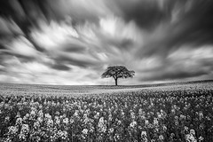 Alone (David Ball Landscape Photography) Tags: uk longexposure greatbritain travel sky storm tree nature monochrome field clouds canon landscape photography mono blackwhite moody cloudy fineart crop tones fineartphotography 2016 leefilters cloudsstormssunsetssunrises superstopper davidballlandscapephotography