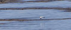 Avocet (35) (Mal.Durbin Photography) Tags: nature birds newport naturereserve newportwetlands maldurbin goldcliffnewport