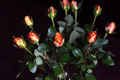 DSC_0857 Roses (PeaTJay) Tags: flowers roses plants macro nature rose gardens fauna reading flora sigma indoors micro closeups berkshire rosebuds lowerearley nikond750