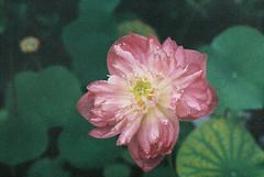 Fleur et grain (xavierhc) Tags: flower pentax lotus natura 1600 fujifilm penang mx