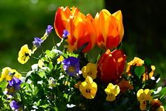 """""""lgemlde"""" - Tulpen und Hornveilchen (fish.eye65) Tags: flowers painting colours tulips blumen farben tulpen hornveilchen gemlde tuftedpansies"""