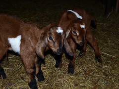 Nubians (wrj95) Tags: old baby animal kid farm goat week nubian