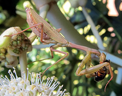 Praying Mantis - lunch (Mary Faith.) Tags: macro nature mantis insect eating praying prey