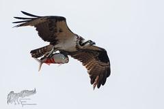 Osprey 4_26 (krisinct- Thanks for 12 Million views!) Tags: canon mark ii 7d 500 f4
