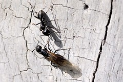 Camponotus vagus () Tags: ant wing ali ants winged tronco formica formiche camponotus alata vagus