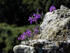 pietre fiorite (fotomie2009) Tags: wild italy flower flora italia liguria wildflower fiore spontaneous savona spontaneo