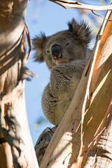 How much can a koala bear? (brent.henriksen) Tags: cute animal hair native wildlife australia ears victoria sleepy koala greatoceanroad kennettriver nikond3300 notactuallyabear