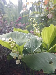 From garden (Iggy Y) Tags: flowers light red white flower green colors leaves garden leaf drops rainy droplet