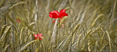 Champtre...... (Malain17) Tags: macro nature photography image pentax couleurs champs picture photographers capture douceur bl coquelicots