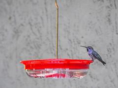 Anna's Hummingbird (randyherring) Tags: california ca bird backyard afternoon hummingbird outdoor wildlife sanjose patio annashummingbird calypteanna