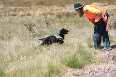 Weed Detection Dogs (Environment + Heritage NSW) Tags: weed hawkweed mouseearhawkweed orangehawkweed mouseear noxiousweed npws weedcontrol nswnationalparksandwildlifeservice huntinghawkweed orangehawkweedcontrolprogram officeofenvironmentandheritage weedprogram hawkweederadiction weeddetectiondog