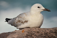 Young Gull (Luke6876) Tags: bird animal wildlife gull australianwildlife silvergull