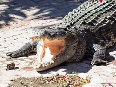 P1092411 (tatsuya.fukata) Tags: elephant thailand crocodile samutprakan crocodilefarm