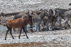 Kuhantilope / Südafrikanische Kuhantilope (Alcelaphus caama) - Etosha-Nationalpark, Namibia (Nov. 2015) (anschieber | niadahoam.de) Tags: zebra namibia etosha 2015 plainszebra burchellszebra bontkwagga redhartebeest kuhantilope etoshanationalpark kaama wiederkäuer afrikaafrica steppenzebraequusquagga 201511 namibia2015 20151111 eigentlichenkuhantilopenalcelaphus kaphartebeest kuhantilopenalcelaphini südafrikanischekuhantilopealcelaphuscaama etoshakuhantilope