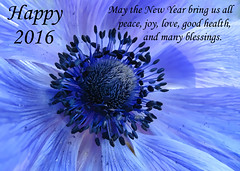 with love on New Year's Eve (mimbrava) Tags: purple mimbrava arr newyearseve allrightsreserved poppyanemone 2016 mimbravastudio mimeisenberg happy2016