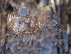 Ice lace II (TaleOfJoy) Tags: winter snow finland helsinki lumi talvi vuosaari koiranputki