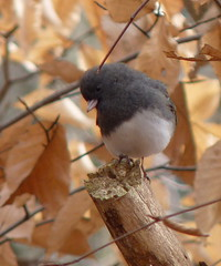 Dark-eyed Junco (Dendroica cerulea) Tags: winter tree leaves birds newjersey junco nj aves sparrow rutgersuniversity darkeyedjunco fagus juncohyemalis fagusgrandifolia helyarwoods emberizidae passeriformes fagaceae fav10 slatecoloredjunco middlesexcounty rutgersgardens americanbeech fagales passeri passerida passeroidea psittacopasserae eufalconimorphae