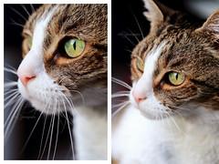 miss nougatine (Chamaloote & Fabrizio) Tags: portrait animal chat yeux moustache minou proxy flin museau domestique canon7dmarkii chaphotography