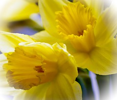 Daffodils (Narcissus) (rustyruth1959) Tags: flowers macro yellow petals nikon bloom daffodils narcissus nikond3200 masterphotos