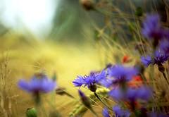 Kornblumen (judith.kuhn) Tags: blau unscharf korn kornblume getreide erntezeit