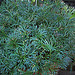 N20160126-0027—Elaphoglossum peltatum—UCBG
