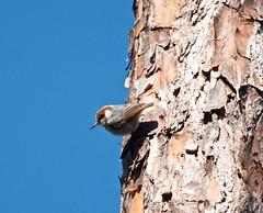 _DW14456.jpg (Upstate Dave) Tags: birds brownheadednuthatch evergladesnationalpark florida longpinekeycampground nationalparks nuthatch places 2013