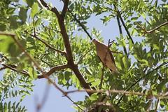 Entre ramas - Between branches (pdelaignorancia) Tags: bird argentina fauna flora pjaro caba naturalezaurbana