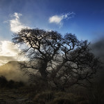 Oak tree in the mist thumbnail