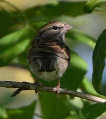 Chipping Sparrow (ctberney) Tags: bird lookingback chippingsparrow spizellapasserina pinkbill