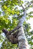 Away   _0378 (hkoons) Tags: tree peru latinamerica southamerica face america mammal libertad climb amazon rainforest warm country spanish jungle sloth tropical creature tropics humid peruvian threetoedsloth amazonrainforest amazonbasin sevennaturalwondersoftheworld loretoregion