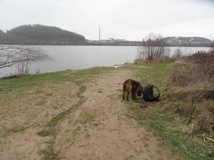 2016-0107 (schuttermajoor) Tags: maastricht nederland hond che maas 2016 airedaleterrier ommetjenederland