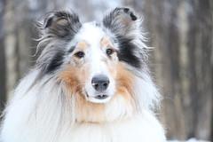 Anglų lietuvių žodynas. Žodis collie reiškia n škotų veislės aviganis šuo lietuviškai.