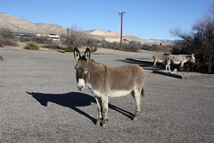 oh hai 2 parking lot visitors verdecanyonrr (EllenJo) Tags: arizona donkeys canonrebel burros equine digitalimage verdevalley clarkdale 2016 february3 ellenjo ellenjoroberts winterinaz lifeoutwest