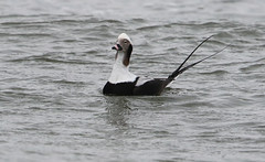 A Long-tailed Duck in the Surf (rivadock4) Tags: ocean new duck newjersey surf atlantic jersey atlanticocean longtailed longtailedduck