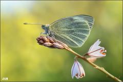 Escamas al sol (- JAM -) Tags: naturaleza flower macro nature insect nikon flor explore jam mariposas d800 insecto macrofotografia explored lepidopteros juanadradas