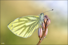 Con pelos y a lo loco (- JAM -) Tags: naturaleza flower macro nature insect nikon flor explore jam mariposas d800 insecto macrofotografia explored lepidopteros juanadradas