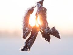 illuminated leaves (w-venne) Tags: frost blatt kalt eis sonne sonnenaufgang raureif kristalle eiskristalle